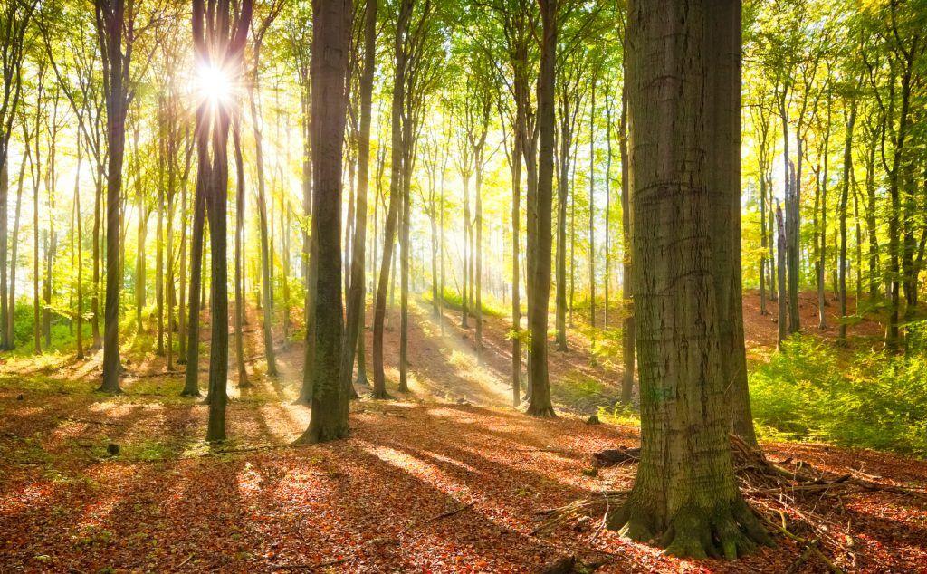 Buchenwald in Deutschland - Baumspende NRW
