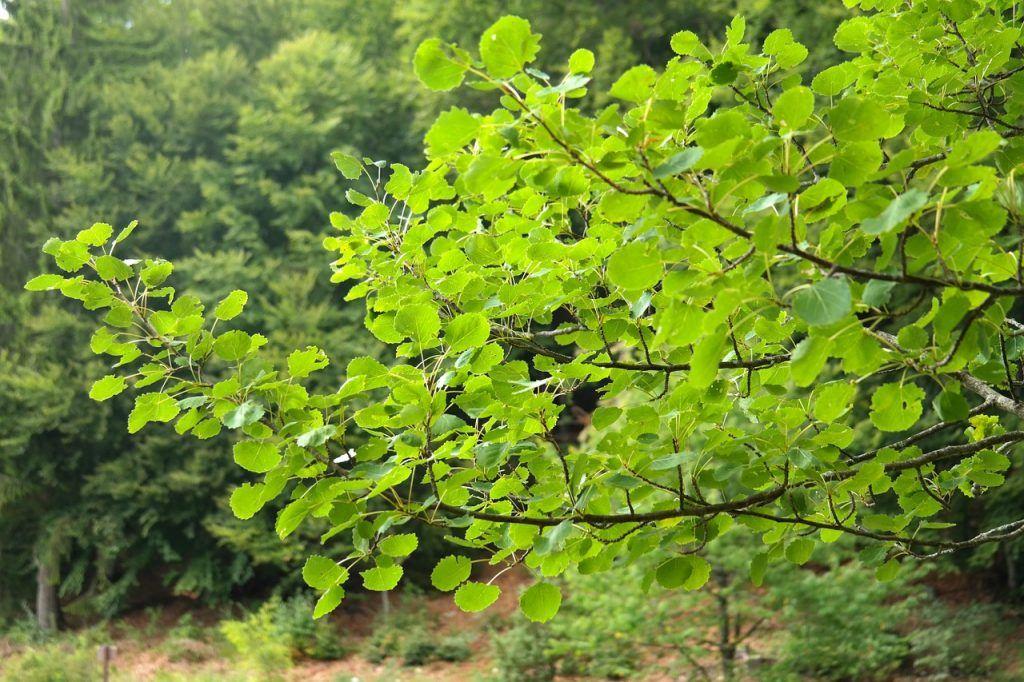 Blätter der Zitterpappel - Espe, Aspe