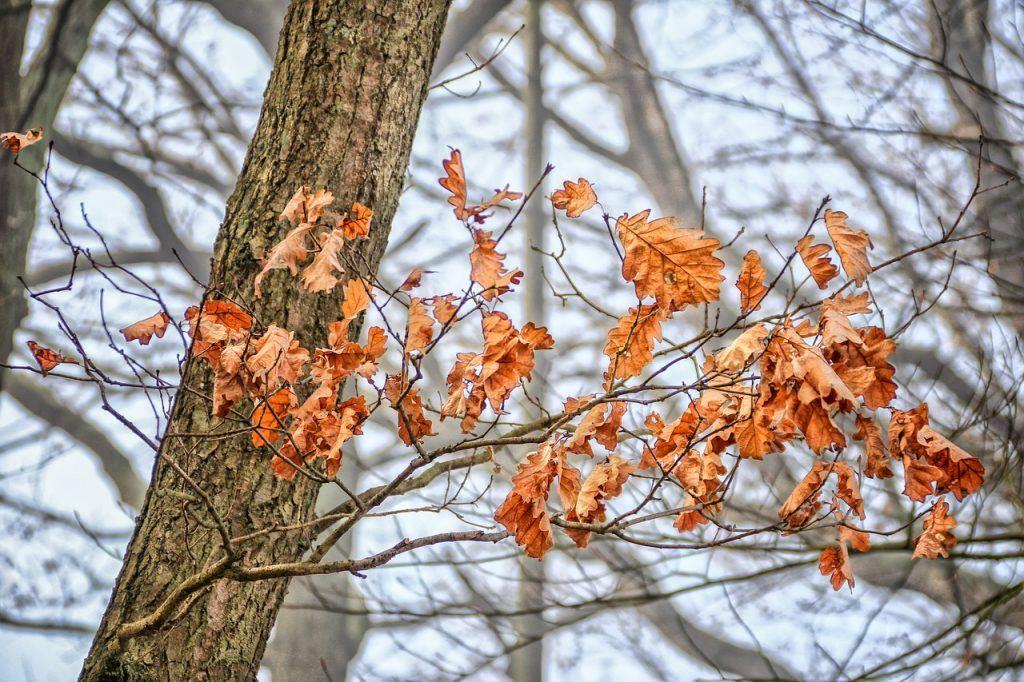 Eichenblätter im Winter