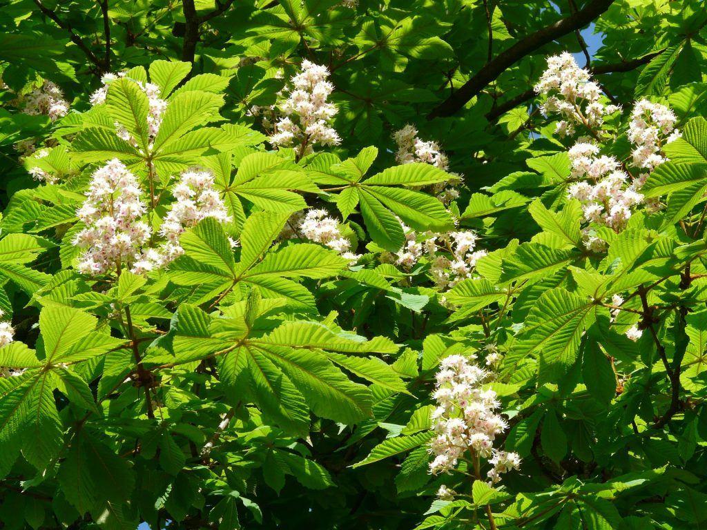 Rosskastanie - auch nur Kastanie genannt - Blütten und Blätter.